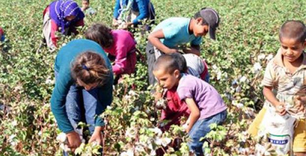 Fındık hasadında çocuk işçi çalıştırana ceza kesilecek