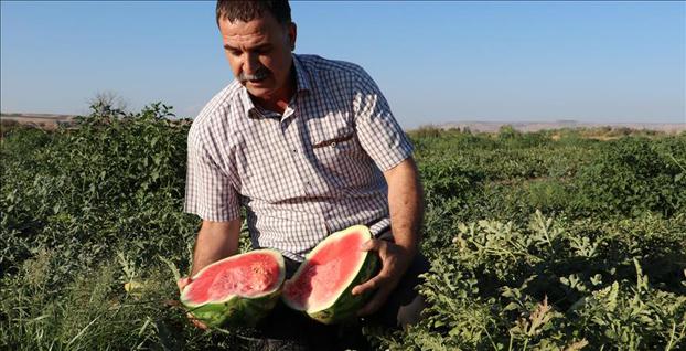 Tescilli Diyarbakır Karpuzu'nda hasat sevinci