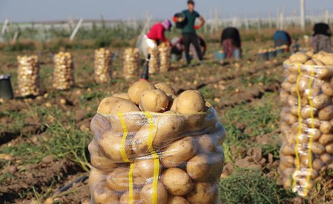 Yüksek patates fiyatına 'yazlık hasat' freni