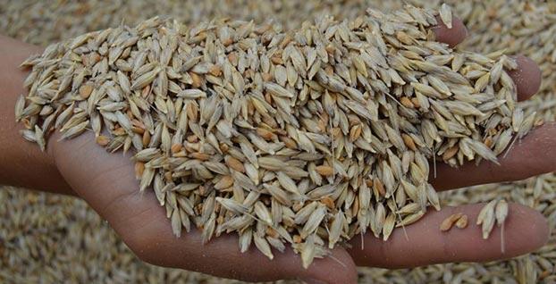 Siyez buğdayı 3 bin yıl aradan sonra yeniden Frigya'da