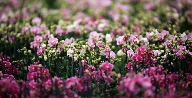 Çiçek seralarında Sevgililer Günü telaşı yaşanıyor