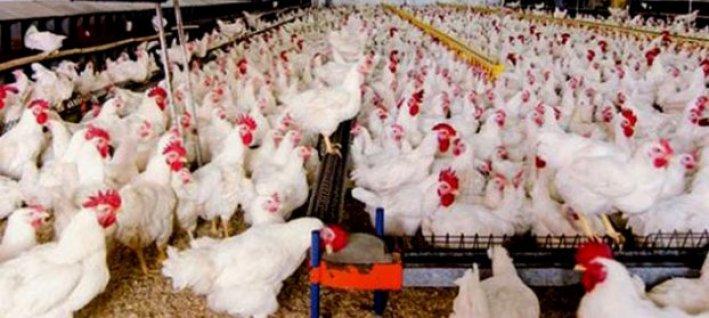 TÜİK, kümes hayvancılığı üretim verilerini açıklandı