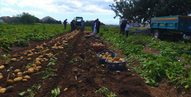 Datça'da turfanda patates üreticisinin yüzünü güldürüyor