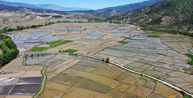 'Sarıkılçık' için Tosya'da ekim başladı