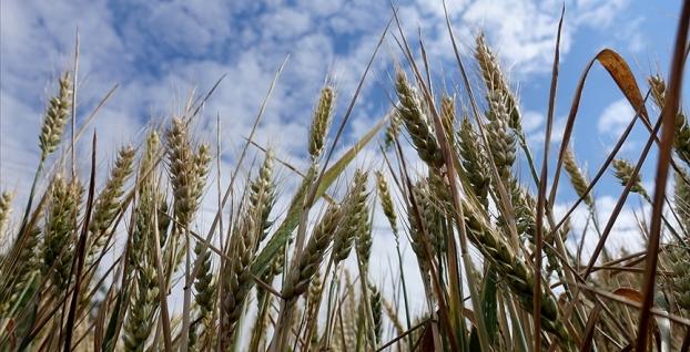 Buğdayın yüksek rekoltesi  çiftçilerin yüzünü güldürdü
