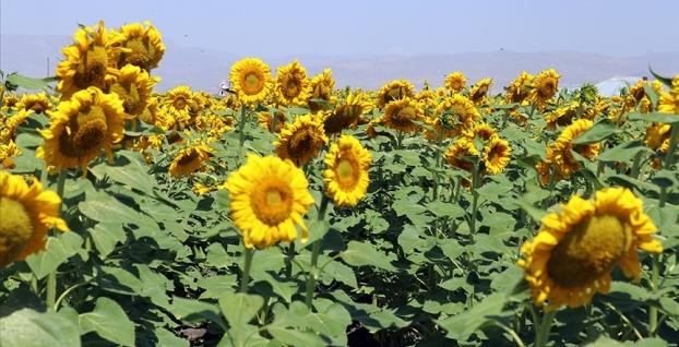 'Sarı gelin' çiftçiye kazanç sağladı