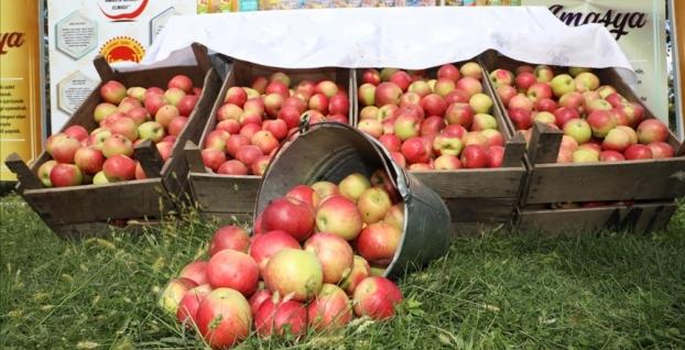Misket elmada hasat zamanı