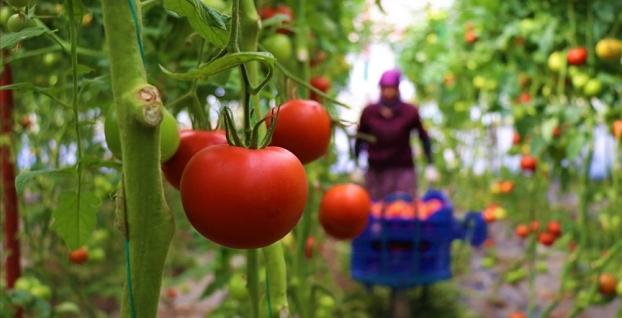 Üretici Söğüt domatesi talebine yetişemiyor