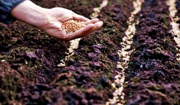Sertifikalı tohum kullanmayana destek yok