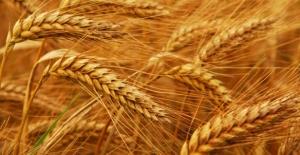 Buğdayda 'kriz'e karşı önlem