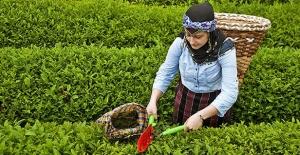 ÇAYKUR'dan tarihinin en büyük ikinci yaş çay alımı