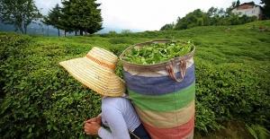 2019 yılı yaş çay taban fiyatı açıklandı