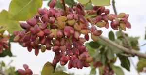 'Kırmızı kabuklu' Antep fıstığında hasat telaşı başladı