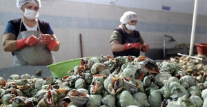 2,7 milyon dolarlık deniz salyangozu ihracatı yapıldı