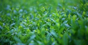 Çay ihracatında ilk 6 ayda rekor kırıldı