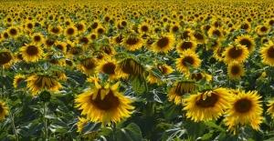 Ayçiçeği tarlalarında  hasat dönemi başladı