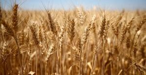 Türkiye'de azalan buğday verimine karşı öneriler