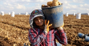 Yerli tohum patates üreticisinin yüzünü güldürdü