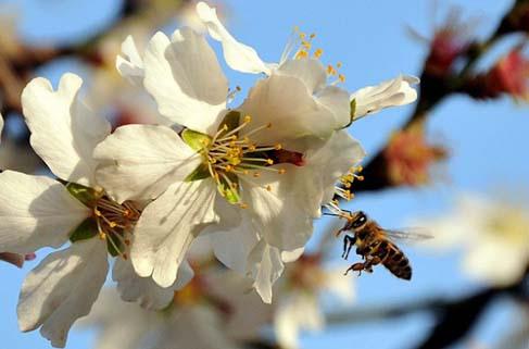 Bal arıları hangi çiçeğe gittiklerini nasıl biliyor