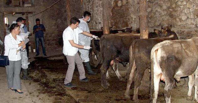 Sığır çiçeği, 179 hayvanı telef etti
