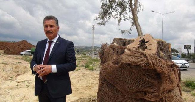 800 yıllık zeytin ağacı filiz verdi