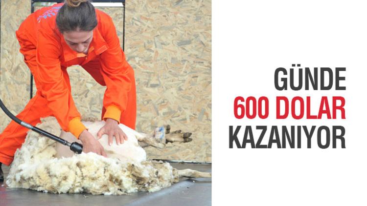 Şampiyon koyun berberlerine günlük 600 dolara Avustralya'dan iş teklifi