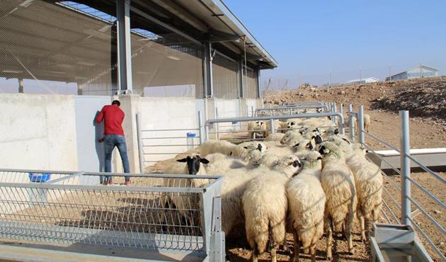 TZOB ve TÜDKİYEB'den 300 koyun projesine destek